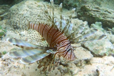 Red lionfish - invasive species that is everythere