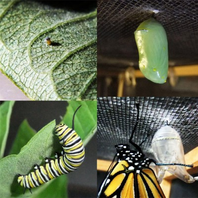 Raised a monarch from egg